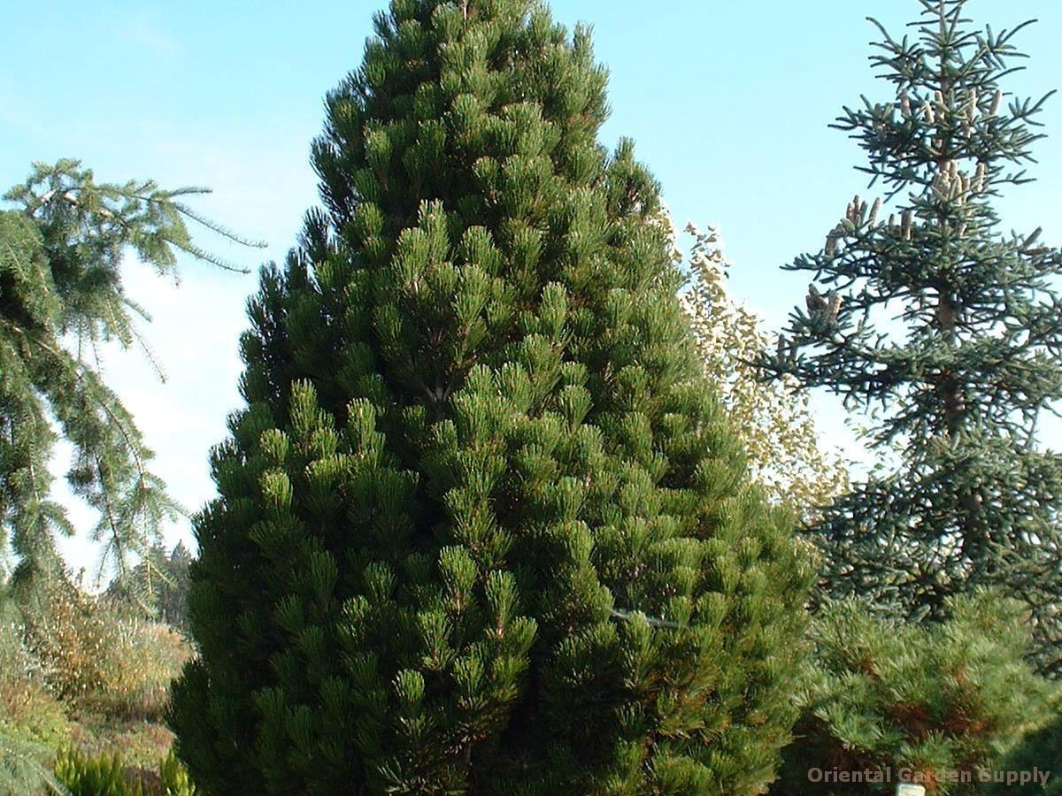 """Pinus leucodermis """"Компакт Джем"""""""