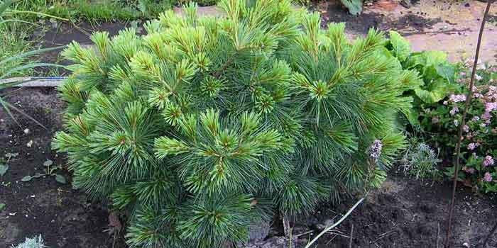 Pinus strobus Радиата