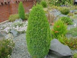 Можжевельник Juniperus communis