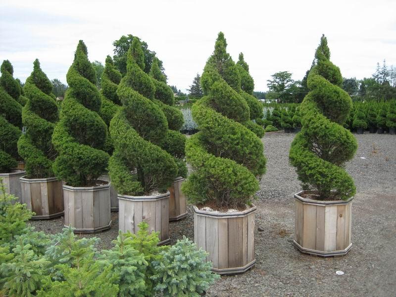 Ель Picea gluaca Коника спираль
