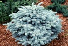 Ель колючая Picea pungens Глаука