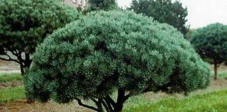 Сосна Pinus sylvestris Уотерери