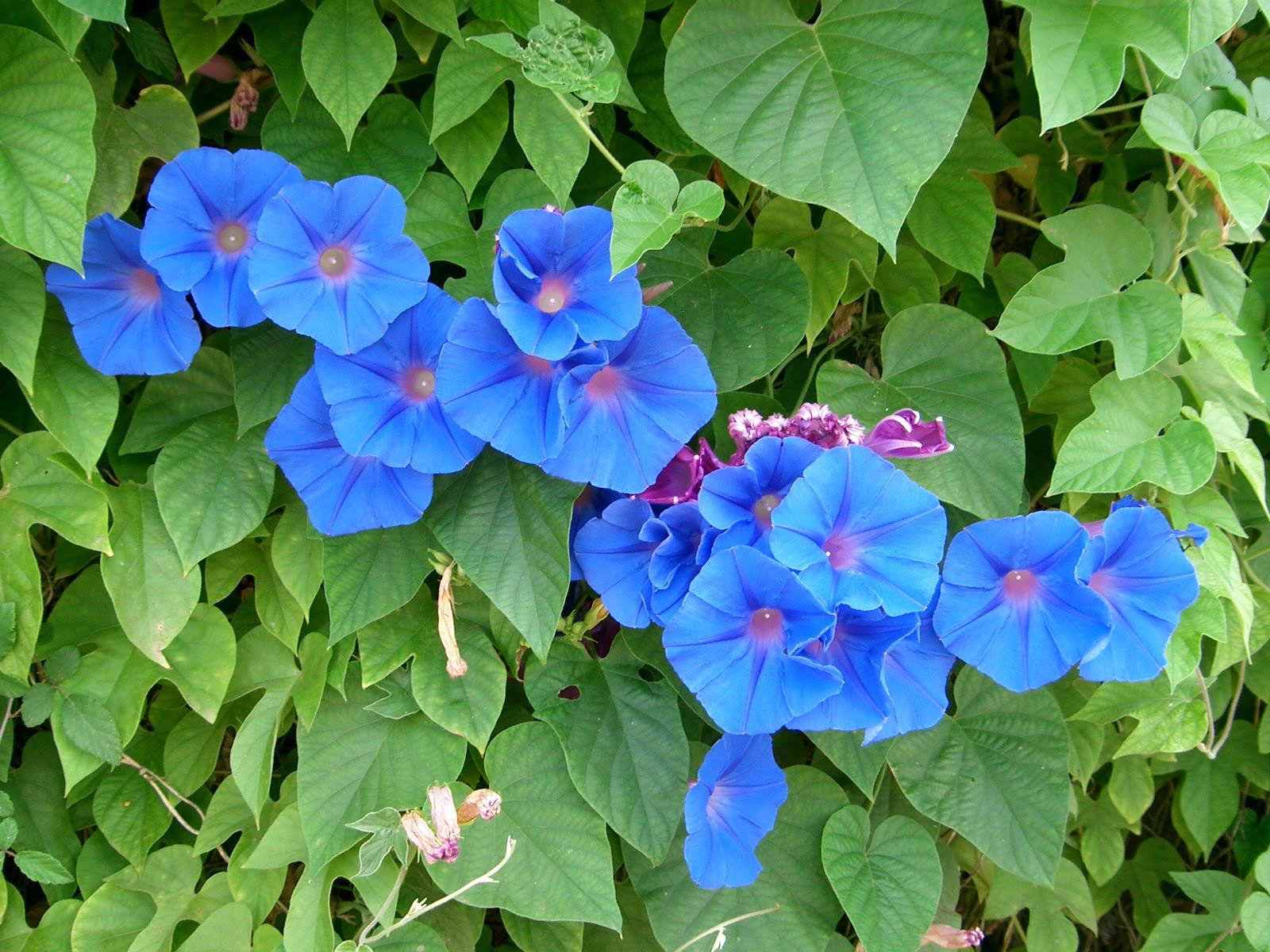 ipomoea indica. Почему не цветет ипомея.