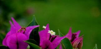 "Бугенвиллеи (Bougainvillea glabra) ""Сандериана"""