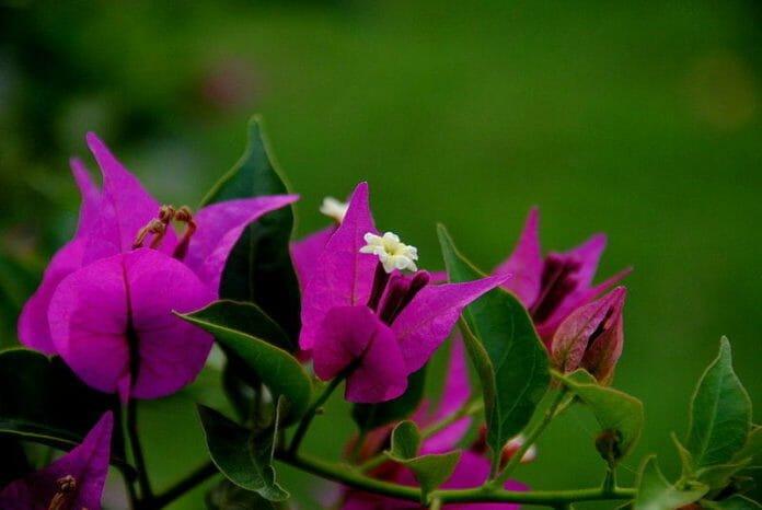 Бугенвиллеи (Bougainvillea glabra)