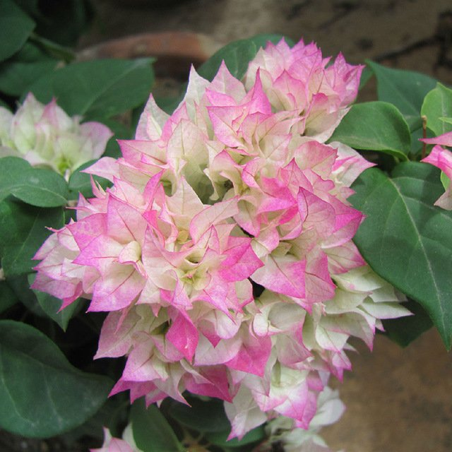 Бугенвиллеи (Bougainvillea spectabilis)