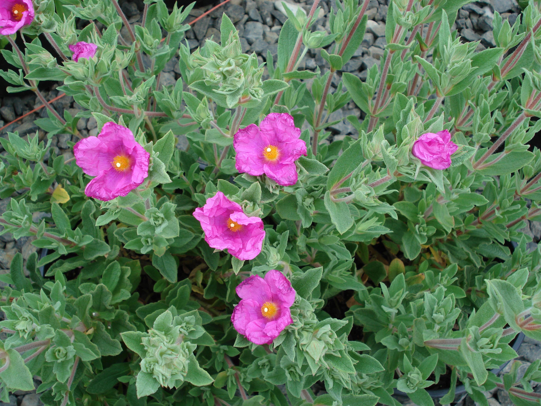 Ладанники (Cistus pulverulentus)