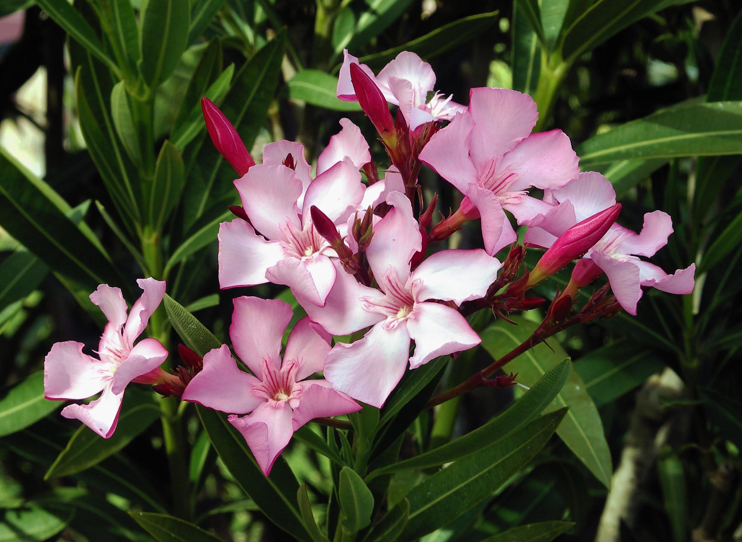 Олеандр (Nerium oleander)