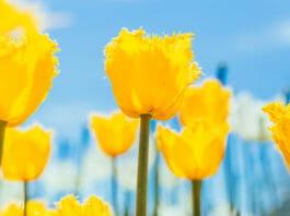 Тюльпаны (tulips)