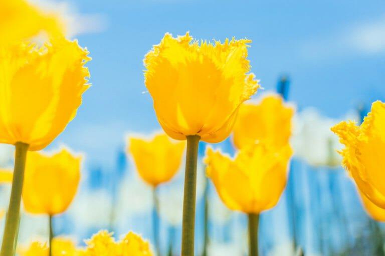 Весна в кадках: Тюльпаны