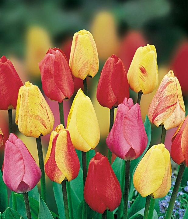 Тюльпаны (tulipa) Дарвина