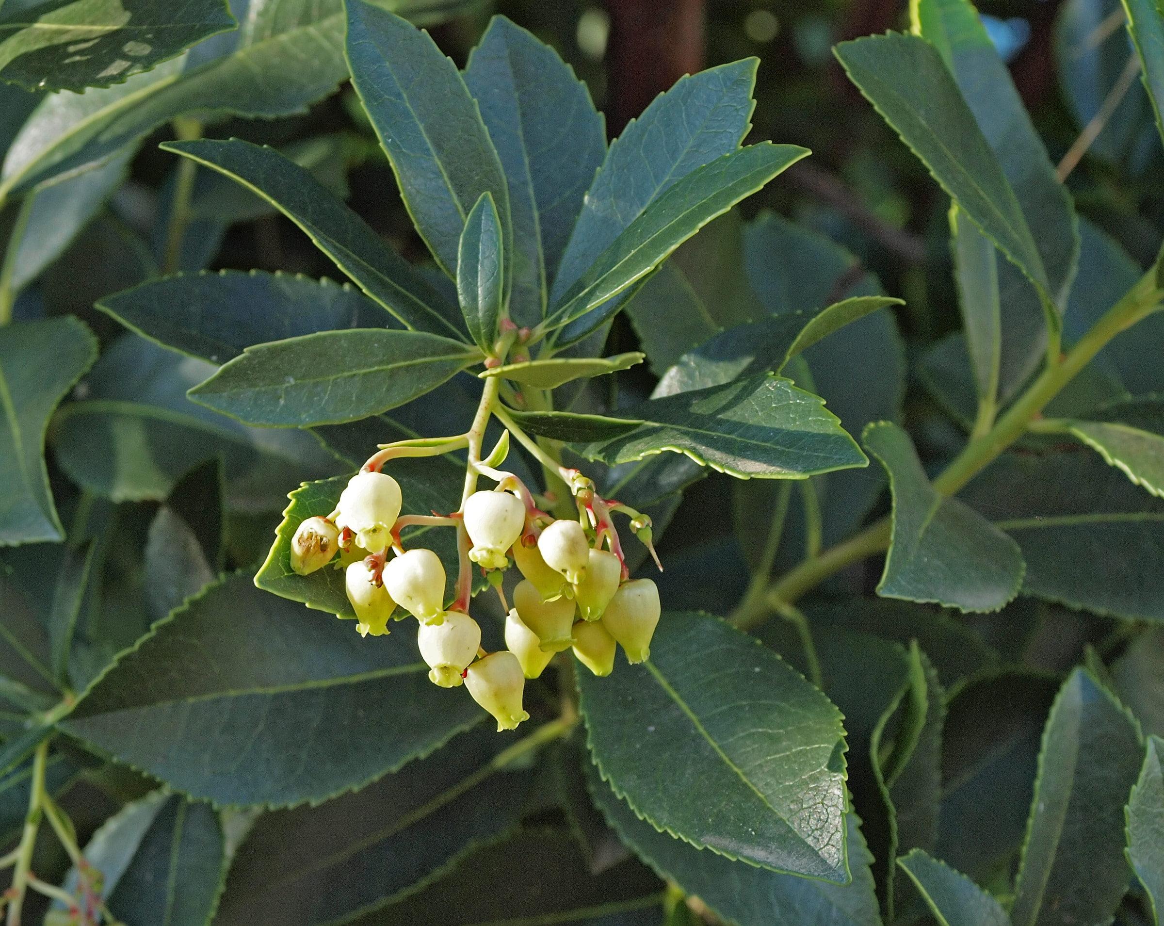 Земляничное дерево (arbutus unedo)