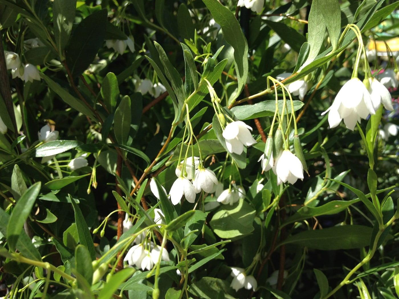 Соллия разнолистная (sollya heterophylla) белая