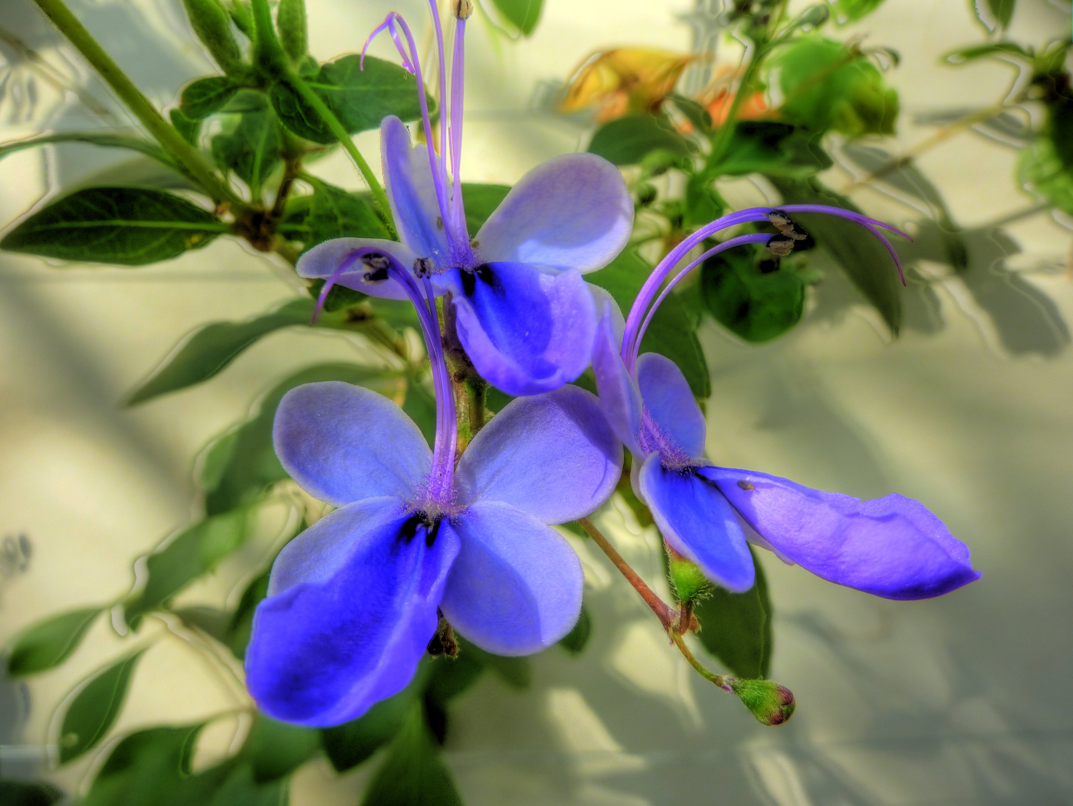 Кустарник Клеродендрум (Clerodendrum ugandense)