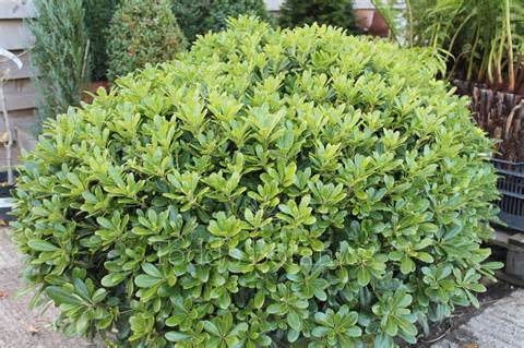 "Pittosporum tobira ""Нанум"""