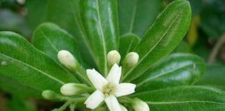 """Цветок Pittosporum tobira """"Нанум"""""""