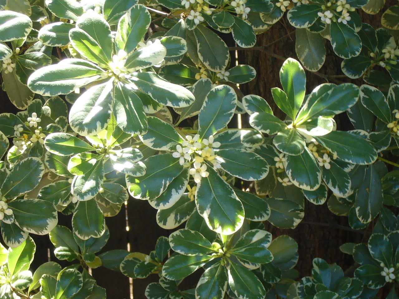 "Pittosporum tobira ""Вариегатум"""