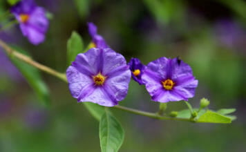 Соланум рантонетти (Lycianthes rantonettii)