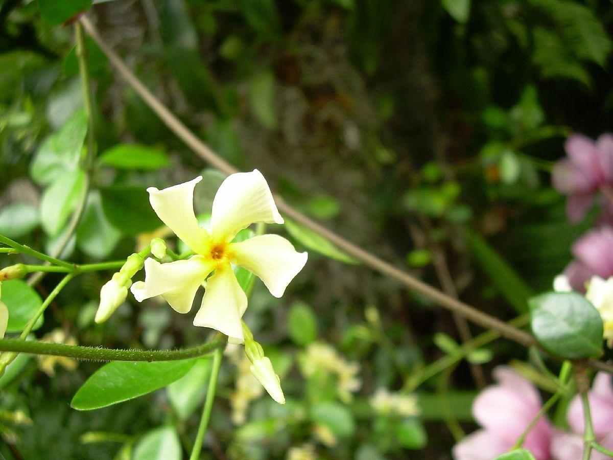 Трахелоспермум (Trachelospermum asiaticum)