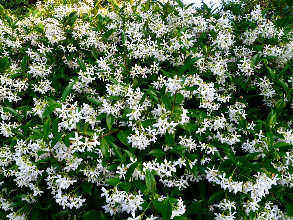 Трахелоспермум (Trachelospermum jasminoides)
