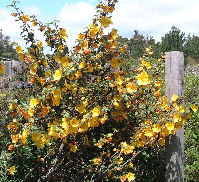 Фремонтодендрон (Fremontodendron californicum)