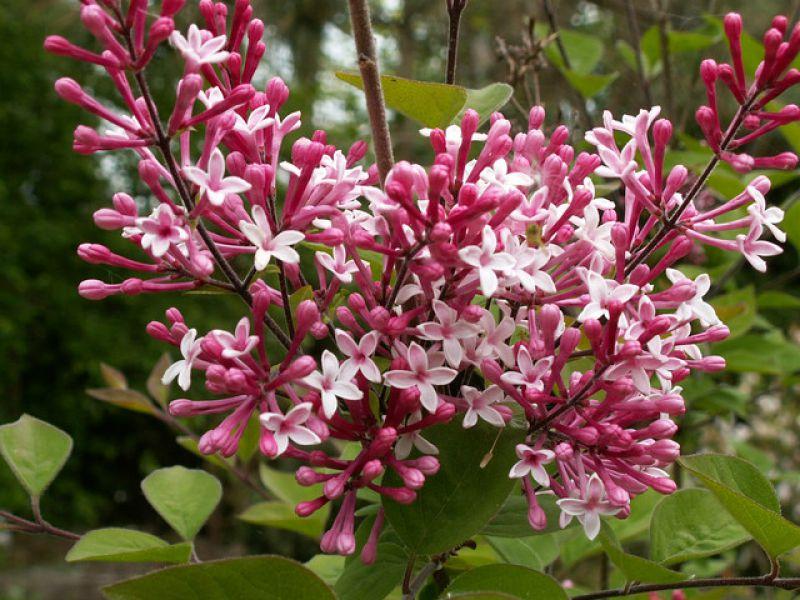 "Syringa microphylla ""Суперба"""