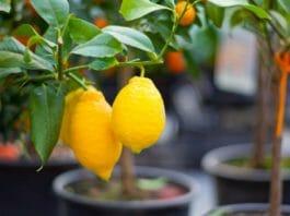 Лимон: уход в домашних условиях