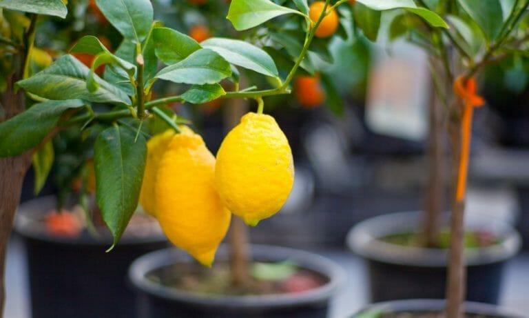 Домашний лимон, выращивание в комнатных условиях