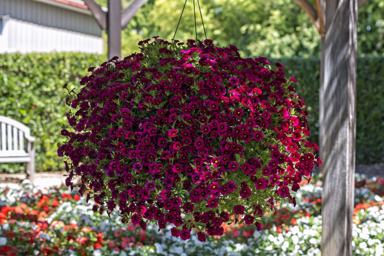 Красочный цветок Калибрахоа (Calibrachoa)