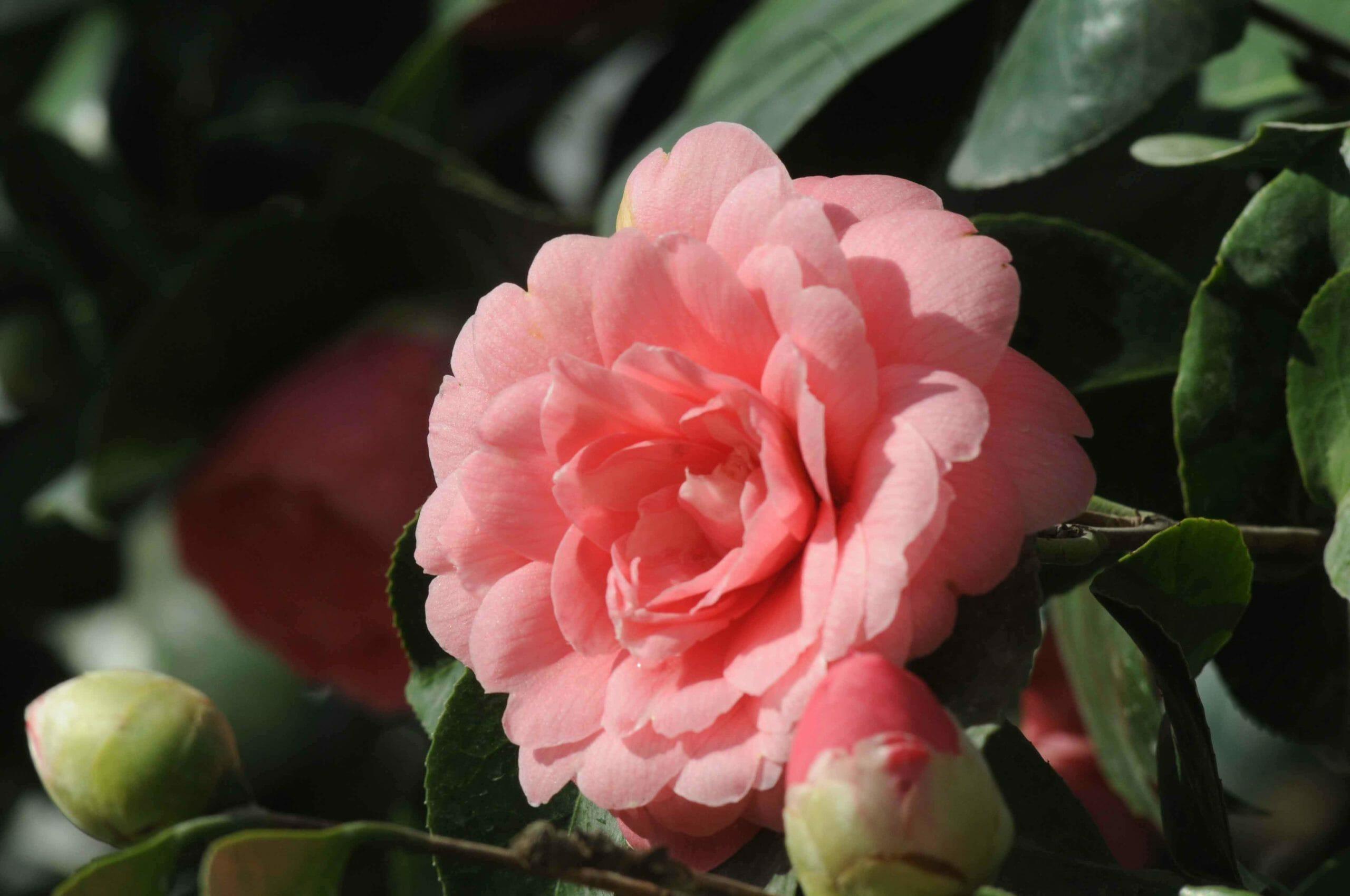 Миддлемист красный - редкий цветок