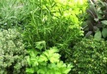 Пряные травы на участке