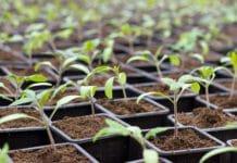 Транспортировка и посадка томатной рассады