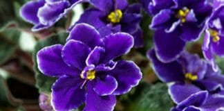 Фиалка (сенполия) - особенности выращивания