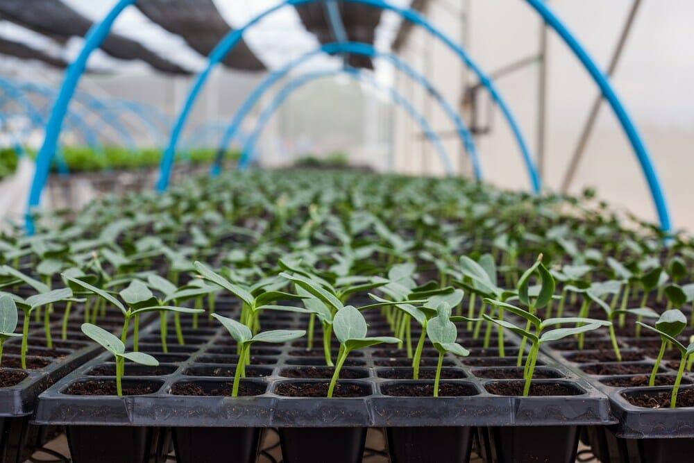 Способы выращивания рассады огурцов с высокой приживаемостью на грядках