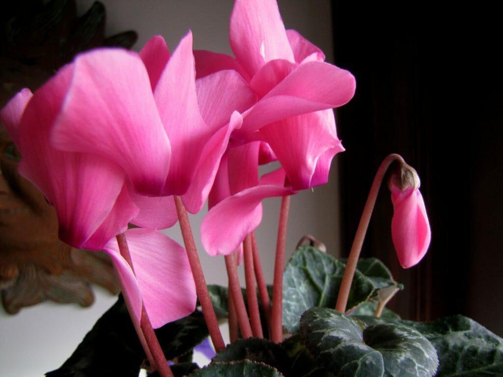 Цикламен: уход в домашних условиях, полив, пересадка и размножение, виды
