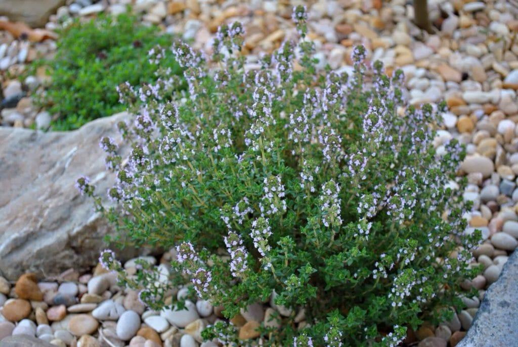 Чабрец или тимьян ползучий: полезные свойства растения и противопоказания к применению