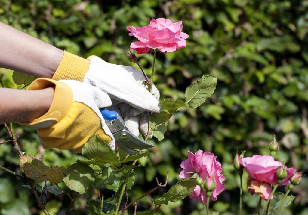Розы посадка весной