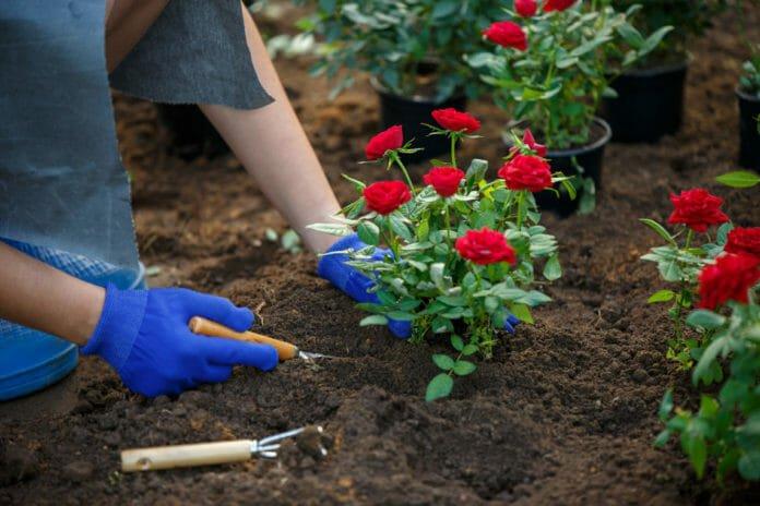 Посадка роз весной: когда и как сажать