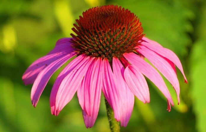 Эхинацея или рудбекия пурпурная