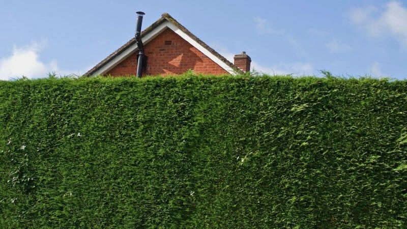 Забор из живой изгороди на даче
