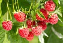 Ремонтантная малина: уход и выращивание