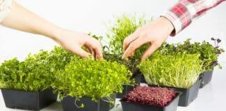 Микрозелень: суперфуд на вашем подоконнике