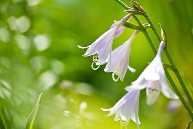 Цветы Хоста