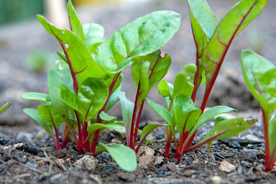 Мангольд: польза и вред, выращивание и уход