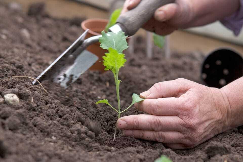 Брокколи: выращивание и полезные свойства
